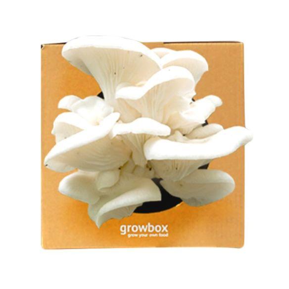 jamur tiram putih growbox